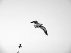 Black-tailed Gull (Larus crassirostris) (me&myshadow/ yo y mi sombra) Tags: delete10 delete9 delete5 delete2 delete6 delete7 gulls save3 delete8 delete3 delete delete4 save save2 blacktailedgull laruscrassirostris deletedbydeletemeuncensored