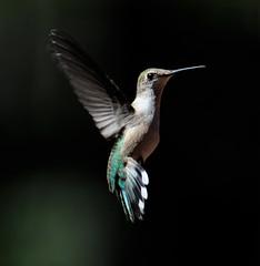 Female Ruby-throated Hummingbird 5 (Tami Hrycak ッ) Tags: nature birds nikon hummingbird wildlife creative poconos moment birdwatcher nbw specanimal creativemoment naturesgreenpeace mothernaturesgreenearth amazingwildlifephotography