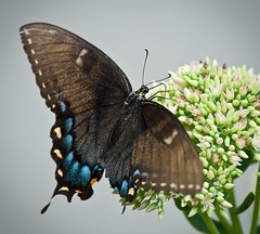 Black Swallowtail (martinrsee) Tags: indiana swallowtail zionsville buttterflies