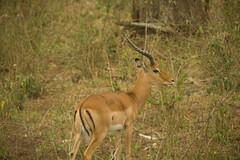class: Mammalia. Male Impala - Lake Nakuru, Kenya