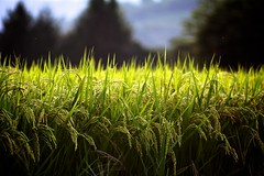 Nearing Harvest (jasohill) Tags: summer plant green nature field japan japanese rice paddy bokeh farm seed iwate backgrounds tohoku 2010 jasohill