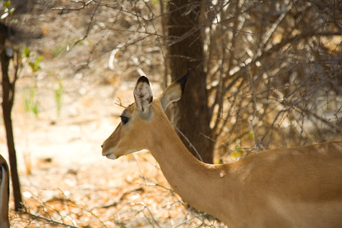 Female Impala - Selous Game Reserve, Tanzania