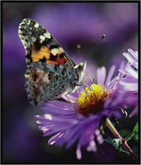 missing this year (P i n u s) Tags: macro canon butterfly paintedlady pinus vanessacardui cynthiacardui distelfalter