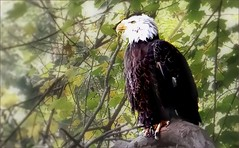 Bald Eagle (blmiers2) Tags: white black green bird nature birds zoo washingtondc eagle baldeagle nationalzoo haliaeetusleucocephalus birdofprey accipitridae accipitriformes blm18 blmiers2