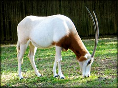 Animal - Scimitar-horned Oryx