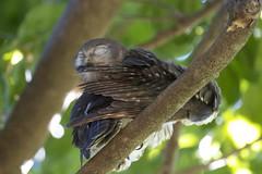 Go away please (Lip Kee) Tags: barkingowl ninoxconnivens ninoxconnivenspeninsularis