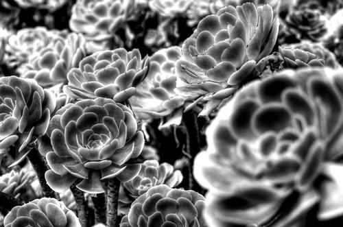 Crassulaceae. Madeira. Crasulácea