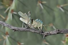 Great Crested Grasshopper, Tropidolophus formosus (Dave Beaudette) Tags: arizona portal grasshop