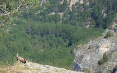 DSC08471 (Cyberian8) Tags: animal ro animaux lobos diere soria  tier  can castilla djur  castillalen castillaylen canrolobos hayvan desanimaux  hewan haiwan  ivotinja  candelrolobos
