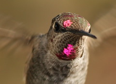 IMG_0113 (William Jensen Photography) Tags: bird hummingbird strobe californianative annashummingbird birdinflight calypteanna hummingbirdinflight canon300mmf4lis montereycountycalifornia canon40d