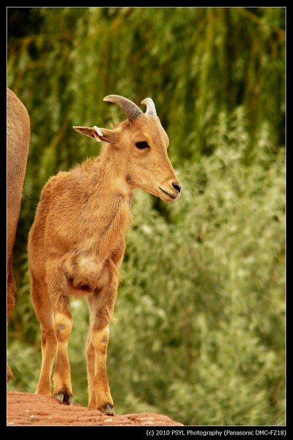 Barbary Sheep / Aoudad (Ammotragus lervia)
