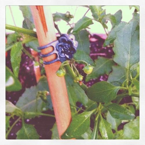 Tiny baby tomatoes on my tomato plant