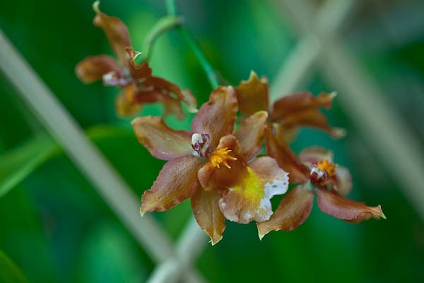 Tiny Orchid - Brown