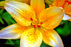 Delight (Roger's Photos59) Tags: flowers plants macro yellow lily rogersphotos59 silveramazingdetail