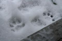 beware frozen water (jypsygen) Tags: winter pet white snow cold macro feet weather animal cat frozen dallas still paw quiet texas dof tracks footprints fluffy powder depthoffield clean dfw paws snowfall pawprints footprint snowday snowedin powderday wintry