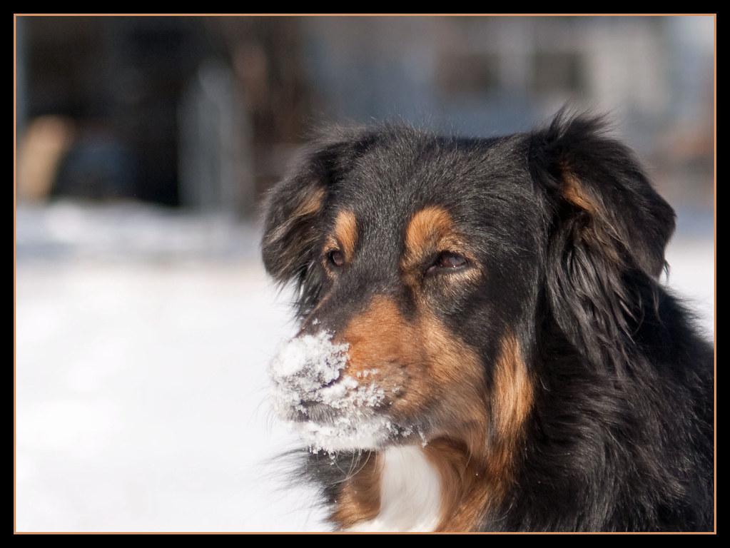Savannah snow nose 2/12/A
