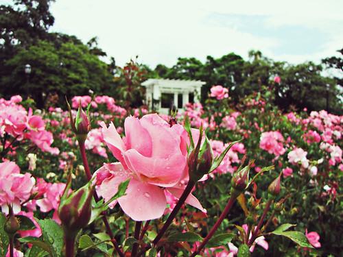 la morada de rosas