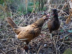 Cecily and Gwendolyn (holistic.hen) Tags: france chicks hens sebright bassenormandie padoue cockerels crestedpolish organicpoultry coqsetpoulesbio