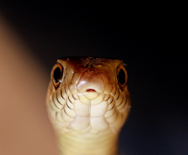 Rat Snake - Peeping with Curiosity