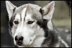 Oncle Larry (Gvomit) Tags: dog chien animal canon husky animaux 50d gvomit