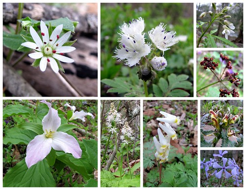 NC Wildflowers