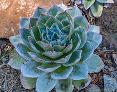 Echeveria Rosette (J_Richard_Link) Tags: plant theruthbancroftgarden succulent echeveria blue rosette closeup