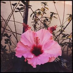 gardens (meeeeeeeeeel) Tags: natureza nature jardim garden iphone iphoneography hipstamatic squareformat delicate florrosa flor flower hibiscorosa hibiscus hibisco pinkhibiscus pinkflower corderosa rosa pink