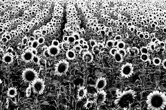 Nature (Bruno MATHIOT) Tags: bw black blanc sunflower plant plante planet fleur flower monochrome mono alsace france french outdoor extérieur nb noiretblanc nature sigma 105 canon 760d