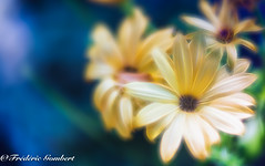 electrified summer (frederic.gombert) Tags: flower flowers light sun summer spring color blue yellow sunlight colors macro nikon