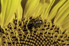 IMGP8243-2 (sapiens5) Tags: sunflower tournesol fleur végétal extérieur pentax k5iis 1685 hd abeilleinsecte