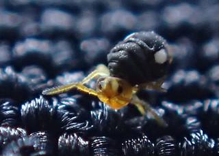 Sminthurinus quadrimaculatus Forma bimaculatus .5mm