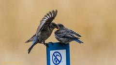 Female Western Bluebird feeding young (lhc005) Tags: bird westernbluebird feeding female juvenile
