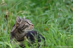 My cat (gillesfrancotte) Tags: 2017 70200f28vrii chat june nikonpassion outdoor cat juin pet summer