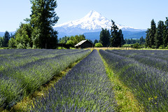 Lavender Valley, Mt. Hood, Oregon (Bonnie Moreland (free images)) Tags: field farm summer lavender flowers rows barns mountain snow oregon river hood valley throughherlens saariysqualitypictures