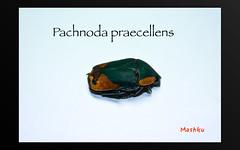 Pachnoda praecellens (Mashku) Tags: insects coleoptera pachnoda cetoniini
