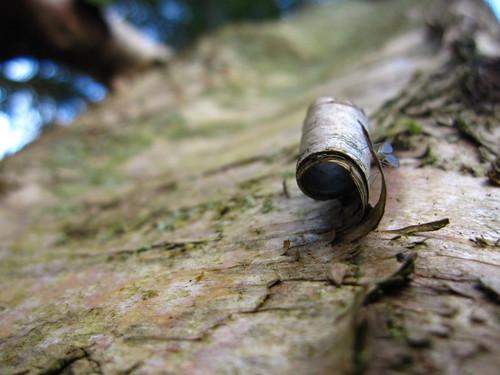 Birch peeling