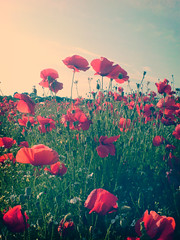 muted poppies (malc_smith) Tags: camera red green field phone petal mmm poppy poppies kidderminster