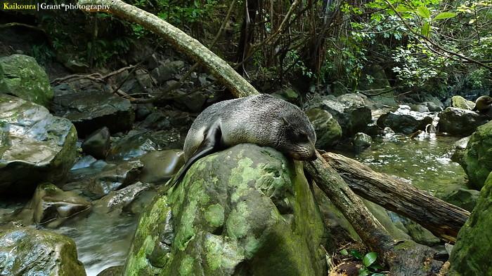 fur seal 03