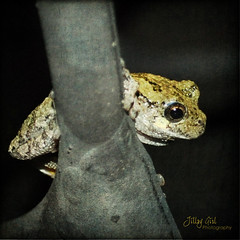 Tree Frog (She Who Carries Camera) Tags: nature frog toad treefrog