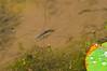 Water Strider, Gerris gracilicornis, コセアカアメンボ (aeschylus18917) Tags: danielruyle aeschylus18917 danruyle druyle ダニエルルール ダニエル ルール japan 日本 nikon d700 105mmf28gvrmicro insect striderswater bugsmagic bugspond skatersskaters skimmers waterscooters waterskaters waterskeeters waterskimmers water skippers hemiptera heteroptera gerromorpha gerridae 105mmf28 nikkor105mmf28gvrmicro macro nature gerris gracilicornis コセアカアメンボ gerrisgracilicornis 105mm pxt