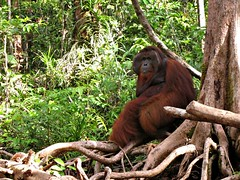 Tom - The King - Male Orangutan in Tanjung Puting National Park