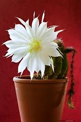 Kaktus_6927-3web (danielalansink.com) Tags: cactus flower blossom flowering blte bloem kaktus stachelig duft blhen bloei weis trichocereus succulente bloeien duften candicans pieksen duftig