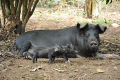 5b The next generation of piglets will provide more families with opportunities