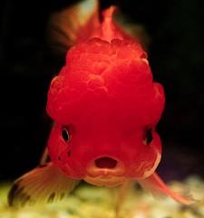 Raspberry Beret (julesnene) Tags: california macro aquarium raspberry wen beret behindtheglass raspberryberet carassiusauratus orandagoldfish julesnene juliasumangil imnoichthyologist conniestropicalfish raspberrylikeheadgrowth raspberrylikehood wenorfleshygrowthonitshead