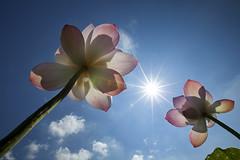 Reaching the Sun (Claire Chao) Tags: pink blue flower green flora lotus blossom taiwan bluesky 台灣 荷花 安康農場 canoneos5dmarkii ntuankangfarm