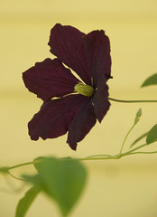 clematis on yellow (Rick McGrath) Tags: clematis