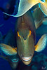 Unique (Lea's UW Photography) Tags: underwater redsea fins unicornfish unterwasser canon100mm canon7d nasendoktor leamoser