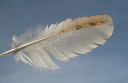 Barn Owl feather