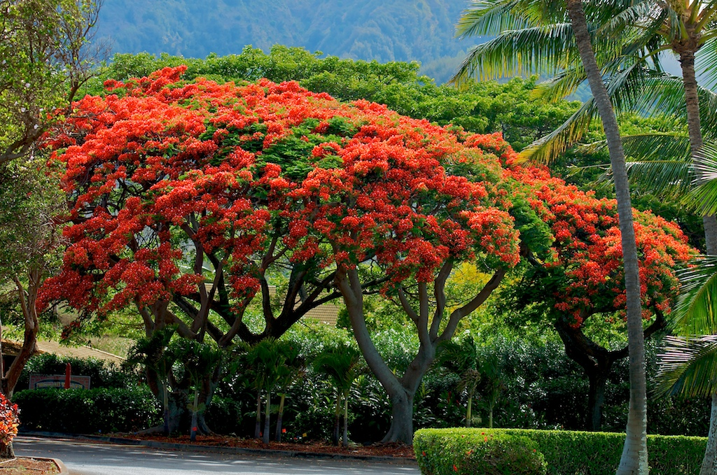 Royal Poinciana Maui