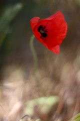 Lonely Poppy (Geraint Rowland Photography) Tags: november red wild blur flower field rural canon focus war day dof bokeh farm 14 poppy worldwarone remembranceday 11th warmemorial essex depth southend memorialday worldwar2 armistice remembrancesunday redpoppy wakering barling novembereleventh anawesomeshot lonelypoppy dreamsnapshot geraintrowland